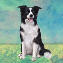 Border Collie Laying Stone Coasters